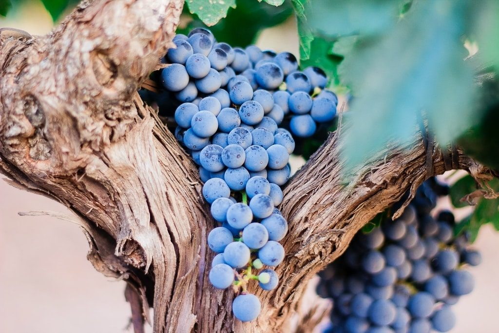 grapes-hanging-on-the-grapevine-in-one-of-spains-wine-region